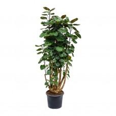 Polyscias - Scutellaria