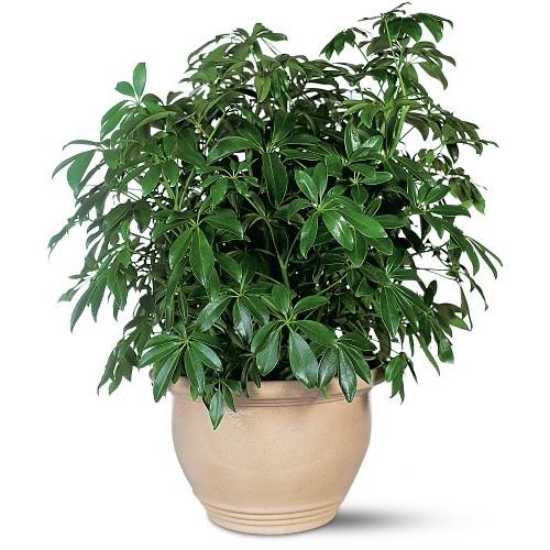 Arboricola Plant (Schefflera)