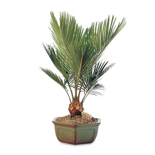 Sago Palm Bonsai Plant