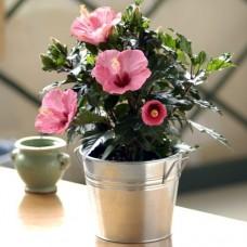 Blushing Hibiscus