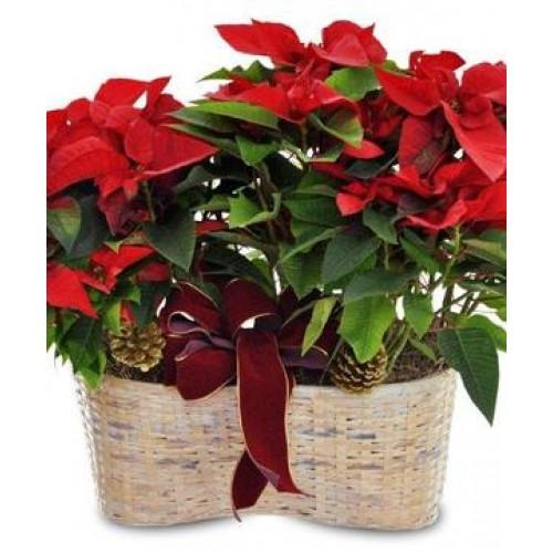 Traditional Poinsettia Plant