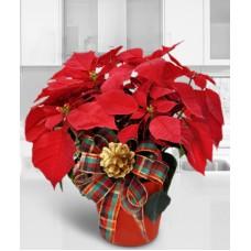 Christmas Plants - Poinsettia