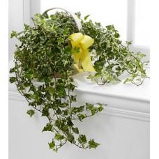 Indoor Variegated English Ivy