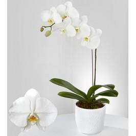 White Orchids Thai