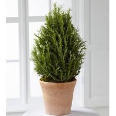 Rosemary Miniature Trees