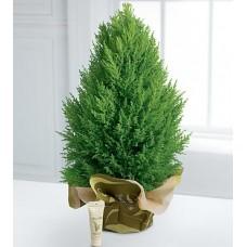 Cypress Evergreen Plant