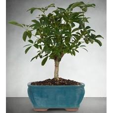 Indoor Schefflera Bonsai