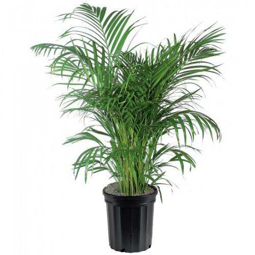 Office - Apartment - Areca Palm