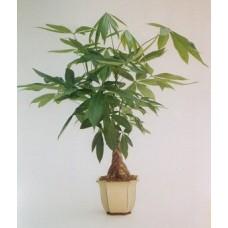 Indoor Money Tree Plant