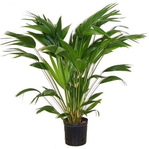 Life Chinese Fan Palm