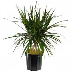 Dracaena Marginata Cane Plant