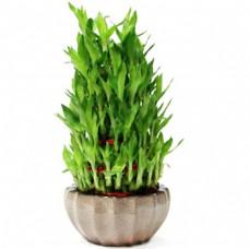 Eve's Lucky Bamboo
