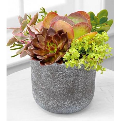 Succulent Dish Garden Plants
