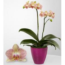 Popular Orchids