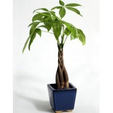 Tropical Money Tree
