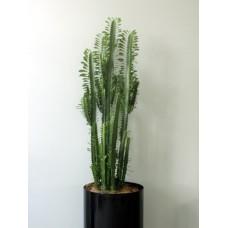 Office Euphorbia Cactus