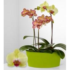Mix Orchid Thai