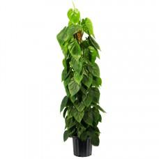 Phil Scandens Plant