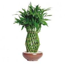 Pineapple Lucky Bamboo