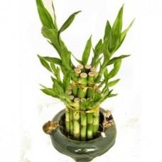 Shui Good Luck Bamboo