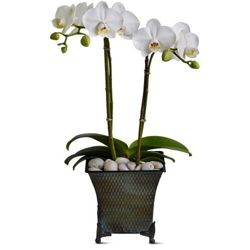 Dulce Duet Orchid Plant