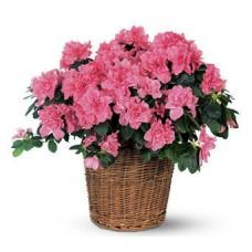 Blooming Gift - Azalea Plant