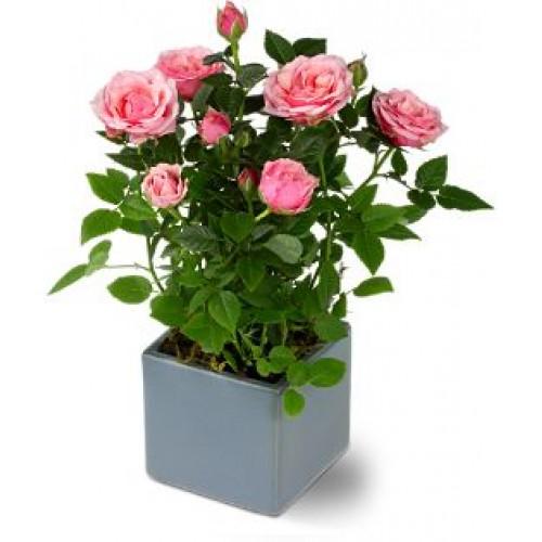 Miniature Rose Plant