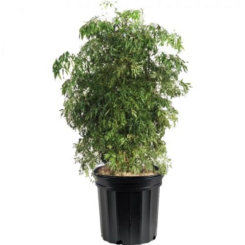 Aralia Ming Plant