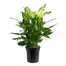 Dieffenbachia Compacta - Indoor Plant