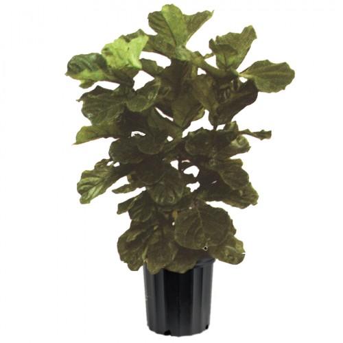 Ficus Lyrata Indoor Plant