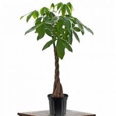 Indoor Tropical Money Tree Plant