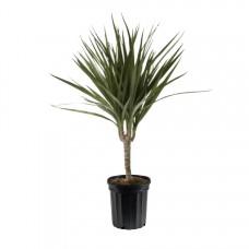 Just Dragon Tree Plant