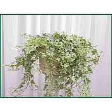 Ivy Variegated Plant