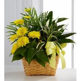 Annual Chrysanthemum Plant Gift Basket