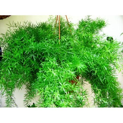 Hanging - Asparagus Ferns