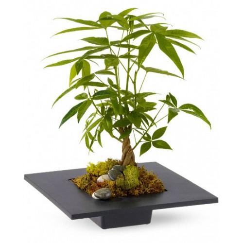 Money Tree Office Plants