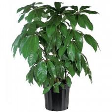 Schefflera Plant