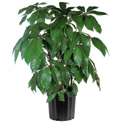 Schefflera Actinophylla - Amate