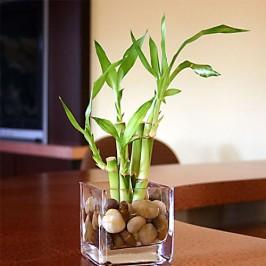 The Lucky Bamboo - Sanderiana