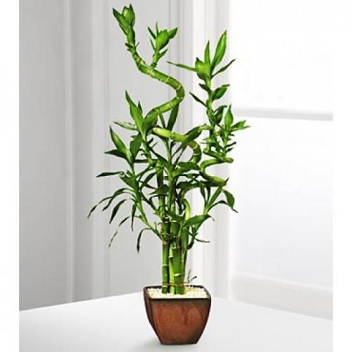 Interior Lucky Bamboo