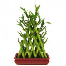 Pyramid Lucky Bamboo