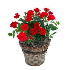 Romantic Red Mini Roses Plant